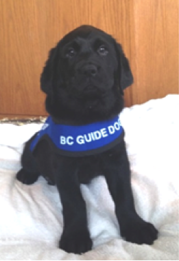 Guide puppy